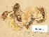 (Tricholoma stiparophyllum - H6039179)  @11 [ ] Copyright (2013) Diana Weckman Botanical Museum, Finnish Museum of Natural History, University of Helsinki
