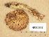 (Tricholoma aff. sulphureum II - H6039185)  @11 [ ] Copyright (2013) Diana Weckman Botanical Museum, Finnish Museum of Natural History, University of Helsinki