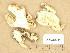 (Tricholoma portentosum - H6039212)  @11 [ ] Copyright (2013) Diana Weckman Botanical Museum, Finnish Museum of Natural History, University of Helsinki