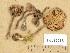 (Tricholoma sulphureum - H6039213)  @11 [ ] Copyright (2013) Diana Weckman Botanical Museum, Finnish Museum of Natural History, University of Helsinki