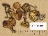 (Calocybe fallax - H6041886)  @11 [ ] Copyright (2014) Diana Weckman Botanical Museum, Finnish Museum of Natural History, University of Helsinki