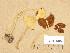 (Conocybe hornana var. subcylindrospora - TUR116216)  @11 [ ] Copyright (2013) Diana Weckman Botanical Museum, Finnish Museum of Natural History, University of Helsinki