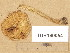 (Hebeloma collariatum - TUR160054)  @11 [ ] Copyright (2014) Diana Weckman Botanical Museum, Finnish Museum of Natural History, University of Helsinki