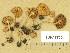 (Inocybe mixtilis - TUR177334)  @11 [ ] Copyright (2014) Diana Weckman Botanical Museum, Finnish Museum of Natural History, University of Helsinki