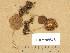 (Inocybe castanea - TUR198645)  @11 [ ] Copyright (2014) Diana Weckman Botanical Museum, Finnish Museum of Natural History, University of Helsinki