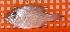 (Glaucosomatidae - BW-A11954)  @11 [ ] Copyright (2011) Cassandra Rigby James Cook University