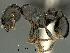 (Tetramorium jordani - SAM-HYM-C018117)  @15 [ ] Copyright (2012) Nokuthula Mbanyana Iziko Museums of Cape Town