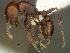 (Tetramorium glabratum - SAM-HYM-C0023291)  @15 [ ] Copyright (2012) Nokuthula Mbanyana Iziko Museums of Cape Town
