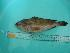 (Epinephelus sp - SCSIO-Fish-Z711077)  @11 [ ] Unspecified (default): All Rights Reserved  Unspecified Unspecified