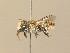 (Megachile pilidens - BC ZSM HYM 14560)  @15 [ ] Unspecified (default): All Rights Reserved  Unspecified Unspecified
