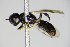  (Crossocerus congener - BC ZSM HYM 14770)  @13 [ ] Unspecified (default): All Rights Reserved  Unspecified Unspecified
