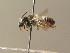 (Megachile alpicola - BC ZSM HYM 15342)  @13 [ ] Unspecified (default): All Rights Reserved  Unspecified Unspecified