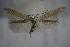 (Coleophora supinella - BC ZSM Lep 83893)  @13 [ ] Unspecified (default): All Rights Reserved  Unspecified Unspecified
