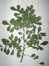 (Sophora secundiflora - NIBGE-GCUBG-428)  @11 [ ] CreativeCommons - Attribution Non-Commercial Share-Alike (2011) Zaheer Khan GC University Lahore, Pakistan