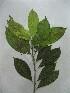 (Tabernaemontana coronaria - NIBGE-GCUBG-57)  @11 [ ] CreativeCommons - Attribution Non-Commercial Share-Alike (2011) Zaheer Khan GC University Lahore, Pakistan