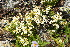  (Saxifraga cherlerioides - ABSDA-61)  @11 [ ] NO  NO NO