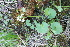  (Saxifraga nelsoniana - ABSDA-06)  @11 [ ] no  no no