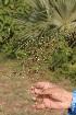 (Oldenlandia - DNAFR000877)  @11 [ ] Copyrights  Gujarat Biodiversity Gene Bank, GSBTM, DST, GoG Gujarat Biodiversity Gene Bank, GSBTM, DST, GoG
