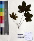 (Cochlospermum - DNAFR000352)  @11 [ ] Copyright (2014) Gujarat Biodiversity Gene Bank, GSBTM, DST, GoG Gujarat Biodiversity Gene Bank, GSBTM, DST, GoG
