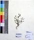 (Lepidagathis - DNAFR000172)  @11 [ ] Copyright (2014) Gujarat Biodiversity Gene Bank, GSBTM, DST, GoG Gujarat Biodiversity Gene Bank, GSBTM, DST, GoG