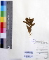 (Enicostema - DNAFR000181)  @11 [ ] Copyright (2014) Gujarat Biodiversity Gene Bank, GSBTM, DST, GoG Gujarat Biodiversity Gene Bank, GSBTM, DST, GoG