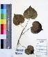 (Thespesia - DNAFR000229)  @11 [ ] Copyright (2014) Gujarat Biodiversity Gene Bank, GSBTM, DST, GoG Gujarat Biodiversity Gene Bank, GSBTM, DST, GoG