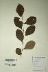 (Flueggea - DNAFR000324)  @11 [ ] Copyright (2014) Gujarat Biodiversity Gene Bank, GSBTM, DST, GoG Gujarat Biodiversity Gene Bank, GSBTM, DST, GoG