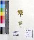 (Pistia - DNAFR000235)  @11 [ ] Copyright (2014) Gujarat Biodiversity Gene Bank, GSBTM, DST, GoG Gujarat Biodiversity Gene Bank, GSBTM, DST, GoG