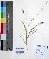 (Chloris quinquesetica - DNAFR000673)  @11 [ ] Copyright (2014) Gujarat Biodiversity Gene Bank, GSBTM, DST, GoG Gujarat Biodiversity Gene Bank, GSBTM, DST, GoG