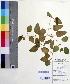 (Clematis - DNAFR000512)  @11 [ ] Copyright (2014) Gujarat Biodiversity Gene Bank, GSBTM, DST, GoG Gujarat Biodiversity Gene Bank, GSBTM, DST, GoG