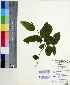 (Ventilago - DNAFR000551)  @11 [ ] Copyright (2014) Gujarat Biodiversity Gene Bank, GSBTM, DST, GoG Gujarat Biodiversity Gene Bank, GSBTM, DST, GoG