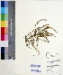 (Zornia - DNAFR000555)  @11 [ ] Copyright (2014) Gujarat Biodiversity Gene Bank, GSBTM, DST, GoG Gujarat Biodiversity Gene Bank, GSBTM, DST, GoG