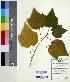 (Dombeya - DNAFR000556)  @11 [ ] Copyright (2014) Gujarat Biodiversity Gene Bank, GSBTM, DST, GoG Gujarat Biodiversity Gene Bank, GSBTM, DST, GoG