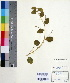 (Psoralea - DNAFR000559)  @11 [ ] Copyright (2014) Gujarat Biodiversity Gene Bank, GSBTM, DST, GoG Gujarat Biodiversity Gene Bank, GSBTM, DST, GoG