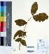 (Schrebera - DNAFR000419)  @11 [ ] Copyright (2014) Gujarat Biodiversity Gene Bank, GSBTM, DST, GoG Gujarat Biodiversity Gene Bank, GSBTM, DST, GoG