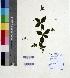 (Rhinacanthus - DNAFR000596)  @11 [ ] Copyright (2014) Gujarat Biodiversity Gene Bank, GSBTM, DST, GoG Gujarat Biodiversity Gene Bank, GSBTM, DST, GoG