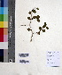 (Ziziphus mauritiana - DNAFR000615)  @11 [ ] Copyright (2014) Gujarat Biodiversity Gene Bank, GSBTM, DST, GoG Gujarat Biodiversity Gene Bank, GSBTM, DST, GoG