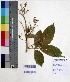 (Sapindus - DNAFR000628)  @11 [ ] Copyright (2014) Gujarat Biodiversity Gene Bank, GSBTM, DST, GoG Gujarat Biodiversity Gene Bank, GSBTM, DST, GoG