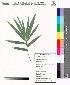 (Bambusa arundinacea (Retz.) Willd - DNAFR000013)  @11 [ ] Copyright (2011) Gujarat Biodiversity Gene Bank Gujarat Biodiversity Gene Bank,Gujarat State Biotechnology Mission