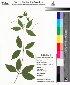 (Bignonia - DNAFR000041)  @11 [ ] Copyright (2011) Gujarat Biodiversity Gene Bank Gujarat Biodiversity Gene Bank
