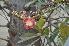 (Couroupita - DNAFR000134)  @11 [ ] Copyright (2013) Gujarat Biodiversity Gene Bank, GSBTM, GoG, India. Gujarat Biodiversity Gene Bank, GSBTM, GoG, India.