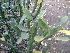 (Euphorbia neriifolia - DNAFR000146)  @11 [ ] Copyright (2013) Gujarat Biodiversity Gene Bank, GSBTM, GoG, India. Gujarat Biodiversity Gene Bank, GSBTM, GoG, India.