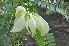 (Sesbania - DNAFR000152)  @11 [ ] Copyright (2013) Gujarat Biodiversity Gene Bank, GSBTM, GoG, India. Gujarat Biodiversity Gene Bank, GSBTM, GoG, India.