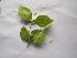 (Carissa spinarum - DNAFR000170)  @11 [ ] Copyright (2013) Gujarat State Biotechnology Mission Gujarat Biodiversity Gene Bank