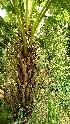 (Livistona - DNAFR000757)  @11 [ ] Copyrights (2023) Gujarat Biodiversity Gene Bank, GSBTM, DST, GoG Gujarat Biodiversity Gene Bank, GSBTM, DST, GoG