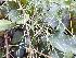 (Asparagus gonoclados - DNAFR000765)  @11 [ ] Copyrights (2014) Gujarat Biodiversity Gene Bank, GSBTM, DST, GoG Gujarat Biodiversity Gene Bank, GSBTM, DST, GoG