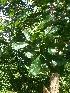 (Sapindus - DNAFR000841)  @11 [ ] Copyrights (2014) Gujarat Biodiversity Gene Bank, GSBTM, DST, GoG Gujarat Biodiversity Gene Bank, GSBTM, DST, GoG