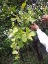 (Dendrophthoe - DNAFR000852)  @11 [ ] Copyrights (2014) Gujarat Biodiversity Gene Bank, GSBTM, DST, GoG Gujarat Biodiversity Gene Bank, GSBTM, DST, GoG