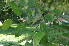 (Ziziphus mauritiana - DNAFR000812)  @11 [ ] Copyrights (2014) Gujarat Biodiversity Gene Bank, GSBTM, DST, GoG Gujarat Biodiversity Gene Bank, GSBTM, DST, GoG