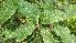 (Diospyros melanoxylon - DNAFR000813)  @11 [ ] Copyrights (2014) Gujarat Biodiversity Gene Bank, GSBTM, DST, GoG Gujarat Biodiversity Gene Bank, GSBTM, DST, GoG
